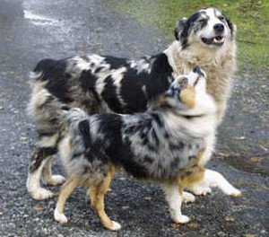Australian shepherd size comparison to human